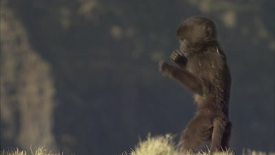 Baby Gelada Monkeys Near Adult Grazing