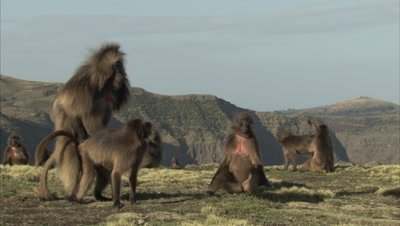 Gelada Monkeys Mating on cliff edge
