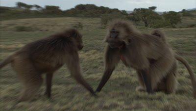 Gelada Monkeys fight then Groom