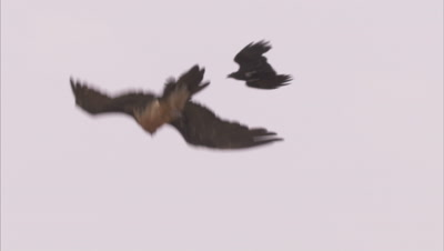 Bearded Vulture Flies, Harassed by Smaller bird