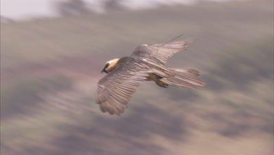 Bearded Vulture Flies Above, Searching Terrain