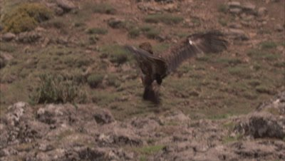 Bearded Vulture lands among other birds