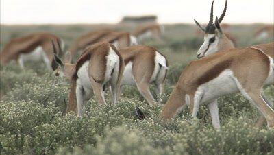 Springbok Herd Grazes on Savanna