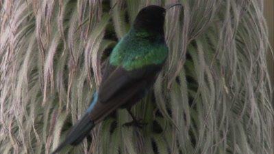 Male Sunbird, Possibly Scarlet tufted sunbird, Feeds on Giant Lobelia Telekii Flowers, Inflorescence
