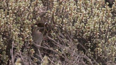 Female Sunbird, possibly scarlet-tufted sunbird, enters Nest Hole in Vegetation