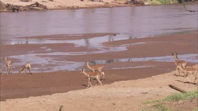 Herd of Impala Drinking Water at Watering Hole