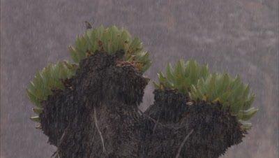 Giant Lobelia in rain, bird flies away, possibly alpine or moorland chat