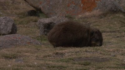 Hyrax feeds on Rocky Landscape