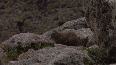 Hyrax Rests On Rocky Landscape