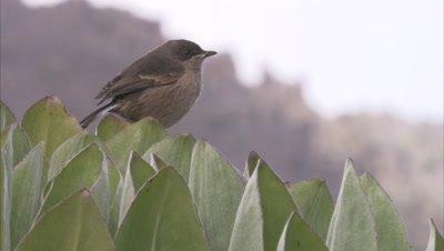 Alpine Chat On Giant Lobelia Plant, Flies Away