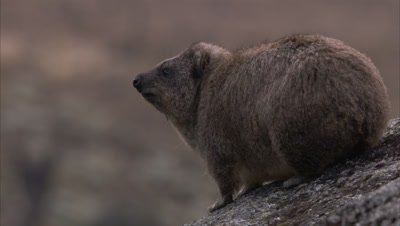 Hyrax on Rocky Landscape