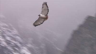Augur Buzzard Flying