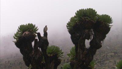 Augur Buzzard Perched on Giant Lobelia Plant, Foggy Landscape Behind