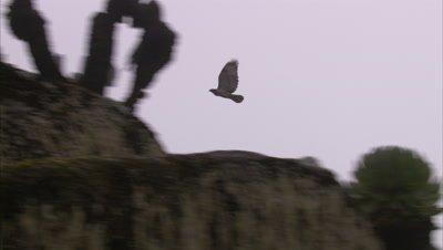 Augur Buzzard flies past Giant Lobelia Plants