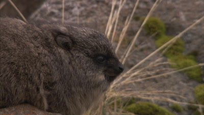 Resting Hyrax,Close Up