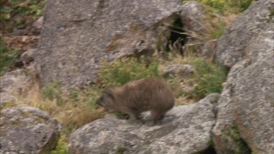 Hyrax Travels Over Rocky Landscape
