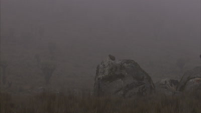 Hyrax Sits On Rock in foggy landscape