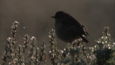 Small bird perched, possibly moorland chat