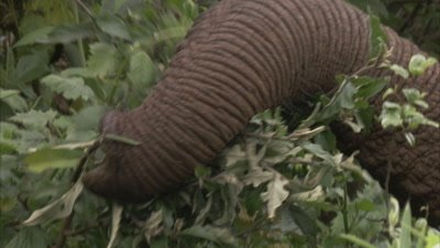 elephant in thick bush, can only see trunk