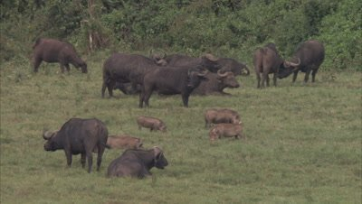 Herd Of Buffalo With Warthogs In A Grassland