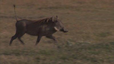 Warthog Walking