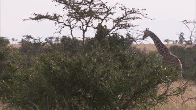 Giraffe In Grassland