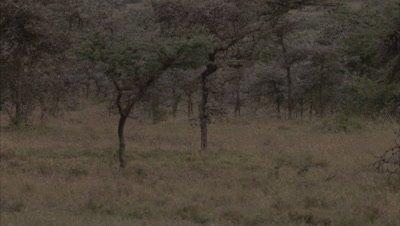 Patas Monkeys Running In A Grassland