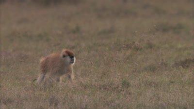 Patas Monkeys In A Grassland