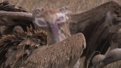 Wake Of Vultures On Remains Of Kill
