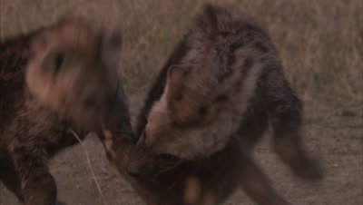 Hyenas In Forest