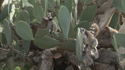 Lemurs On A Tree