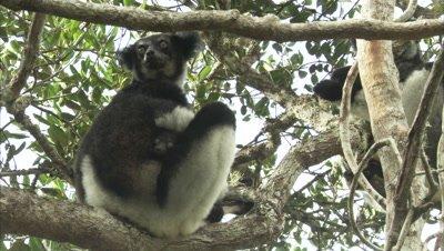 Lemurs On Tree