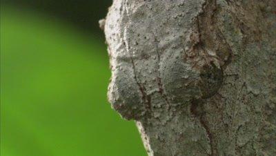 Leaf Tailed Gecko Crawls On A Tree