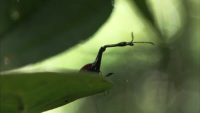 Giraffe Weevil