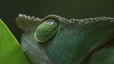 Chameleon Crwaling On A Branch