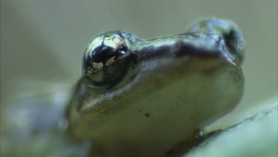 Tree frog,Close Up