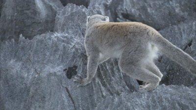 Lemurs Travels Over Rocks