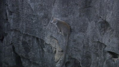 Lemurs On Rocks