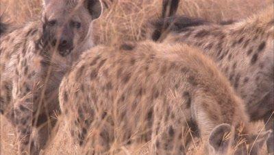 Hyenas In A Grassland