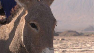 Masaai People Loading Soda Slabs On Their Donkeys