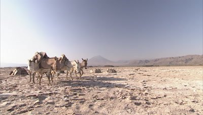 Masaai Walking In A Desert With their Donkeys