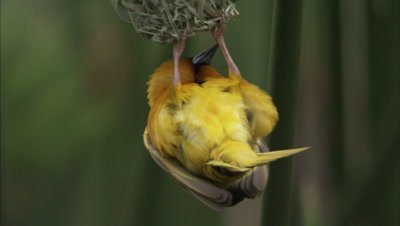 Weaver Perching