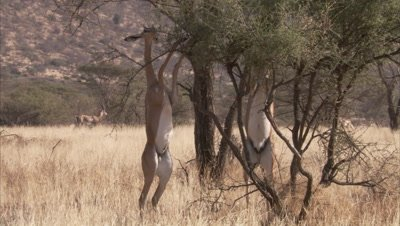 Gerenuk And Impala Grazing