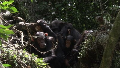 Chimpanzee In Forest