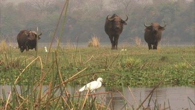 Buffalo Grazing