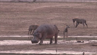 Hyenas And Hippopotamus