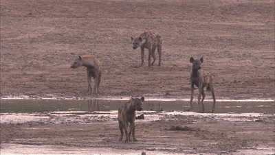 Hyenas Walking