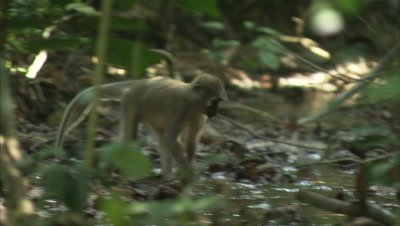 Monkeys, Possibly Agile Mangabeys, Feed in Forest