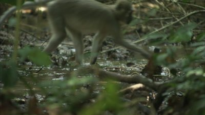 Monkeys, Possibly Agile Mangabeys, Forage in Forest Stream