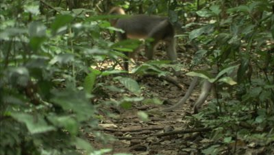 Monkeys, Possibly Agile Mangabeys, Forage in Forest